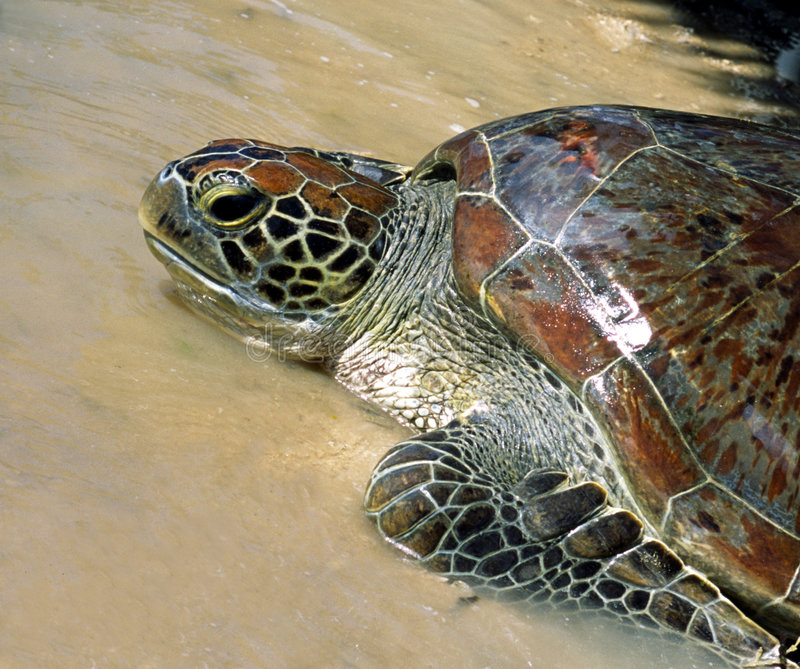 Download Indonesian Sea Turtle stock photo. Image of animal, colourful - 2751590