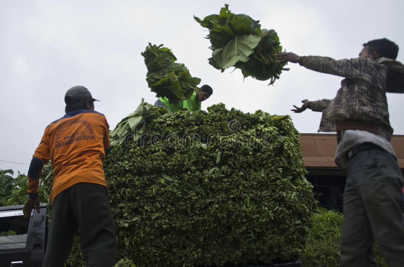 INDONESIAN TOBACCO PLANTATION stock photography