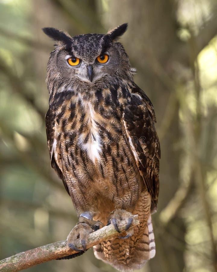 Indonesiano Eagle Owl a tutela canadese del rapace immagini stock