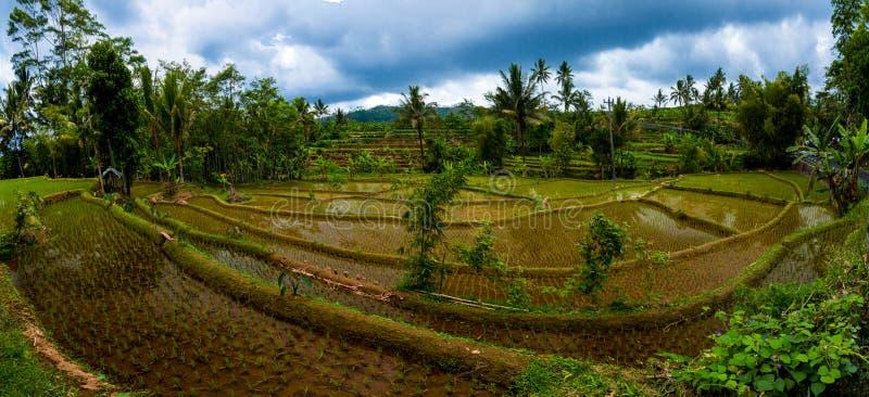 Indonesien-Reisfeldpanorama stockbilder