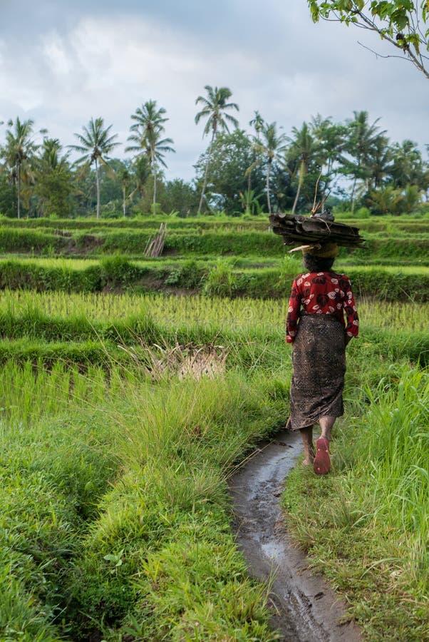Indonesischer Frauenlandwirt, der durch die Reisfelder in Ubud geht, lizenzfreies stockfoto