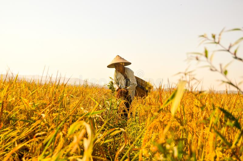 Indonesisk äldre bonde på risfält royaltyfri fotografi