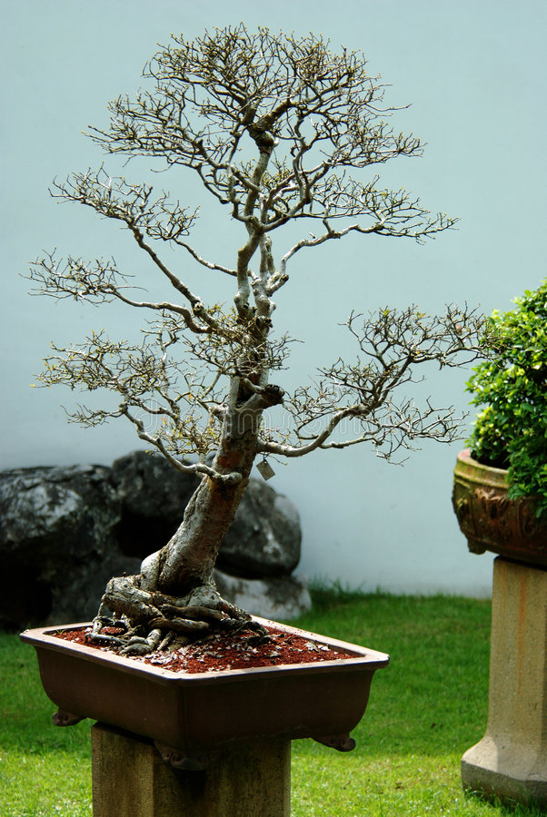 Indoor Bonsai Tree In A Pot Stock Photo - Image of plant