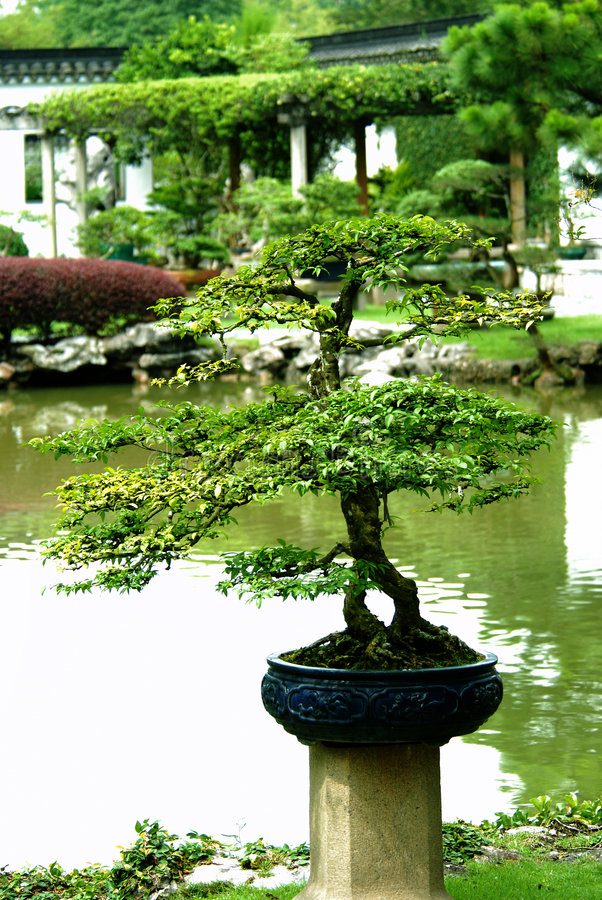 Download Indoor Bonsai Tree In A Pot Royalty Free Stock Image - Image: 7144466