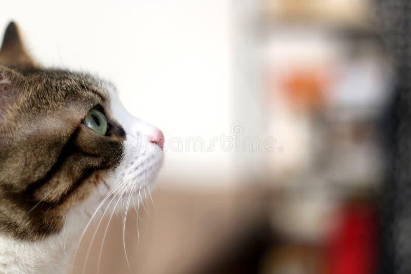 Indoor Cat. Close-up view of tabby indoor cat. Selective focus stock photo