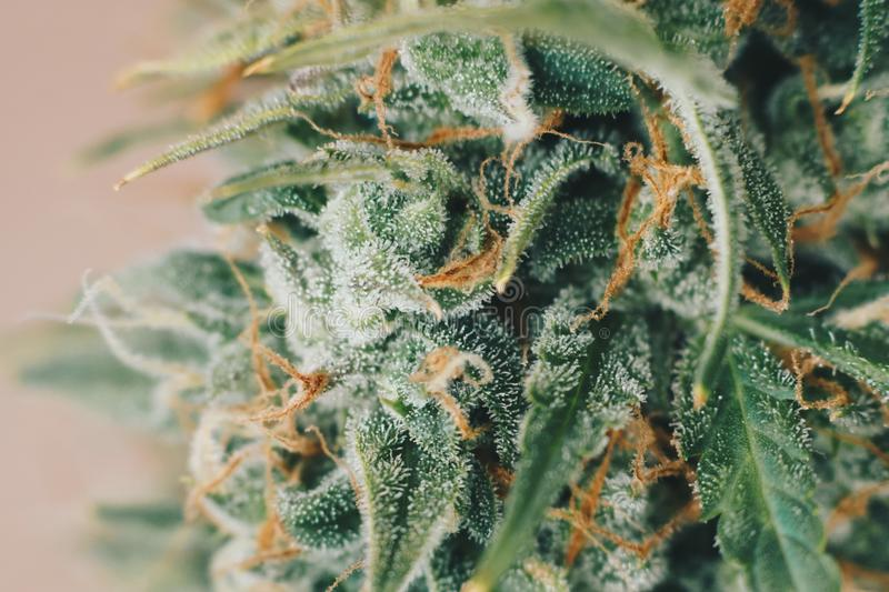 Indoor grow buds cannabis in the before harvest. Macro shot with sugar trichomes. concepts of grow and use. Of marijuana cbd thc medicinal. Concepts of royalty free stock photo