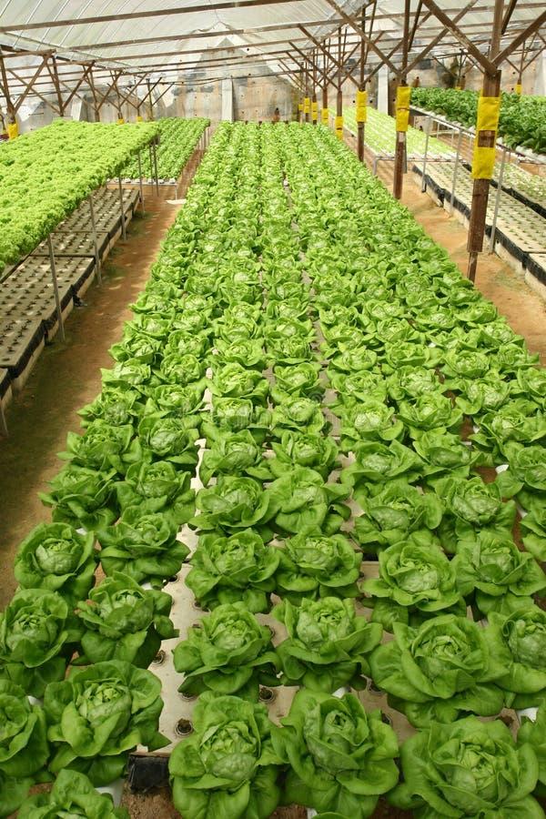 Free Indoor Letuce Farm Stock Photo - 8833800