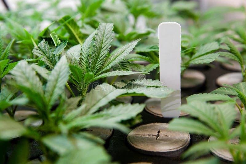 Indoor Marijuana new clones under lights. Indoor Marijuana Grow Series. From seed to sale stock image