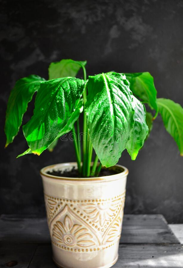 Indoor plant. Plant in a flowerpot. Dark background, sunlight. Beautiful green leaves. Flowers in the house. Houseplant. Vertical. Indoor plant. Plant in a stock photography