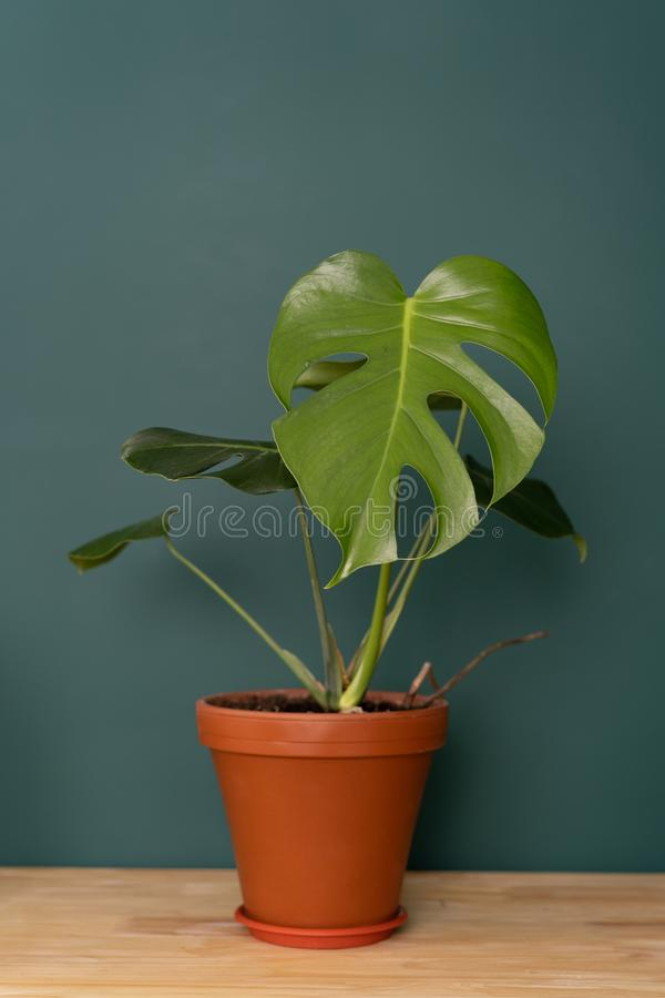 Indoor plant in the interior - Monstera on a wooden tabletop against a green wall royalty free stock image