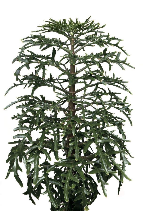 Free Indoor Plant Platycerium Royalty Free Stock Photos - 15784028