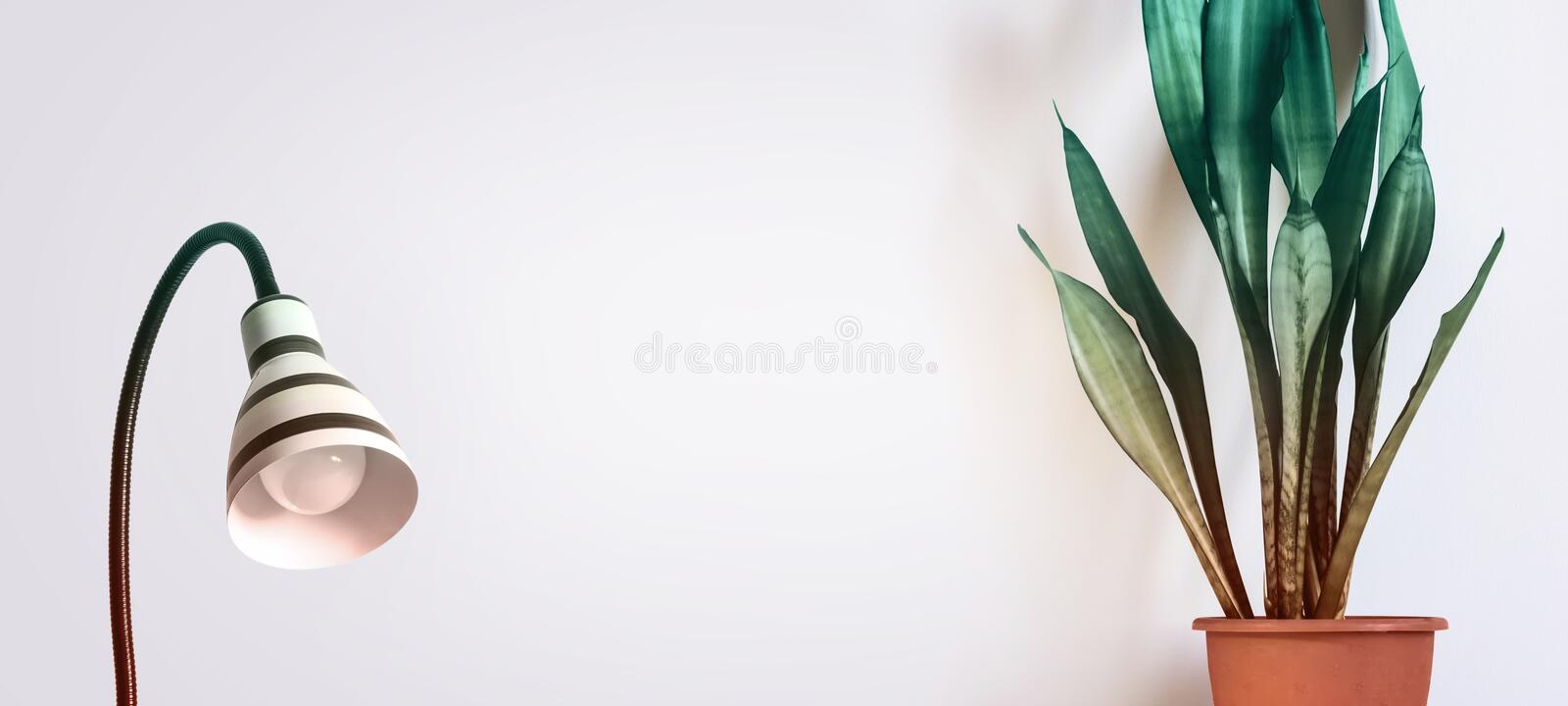 Indoor plant Sansevieria and stylish lamp against a white wall. Scandinavian interior Concept stock image