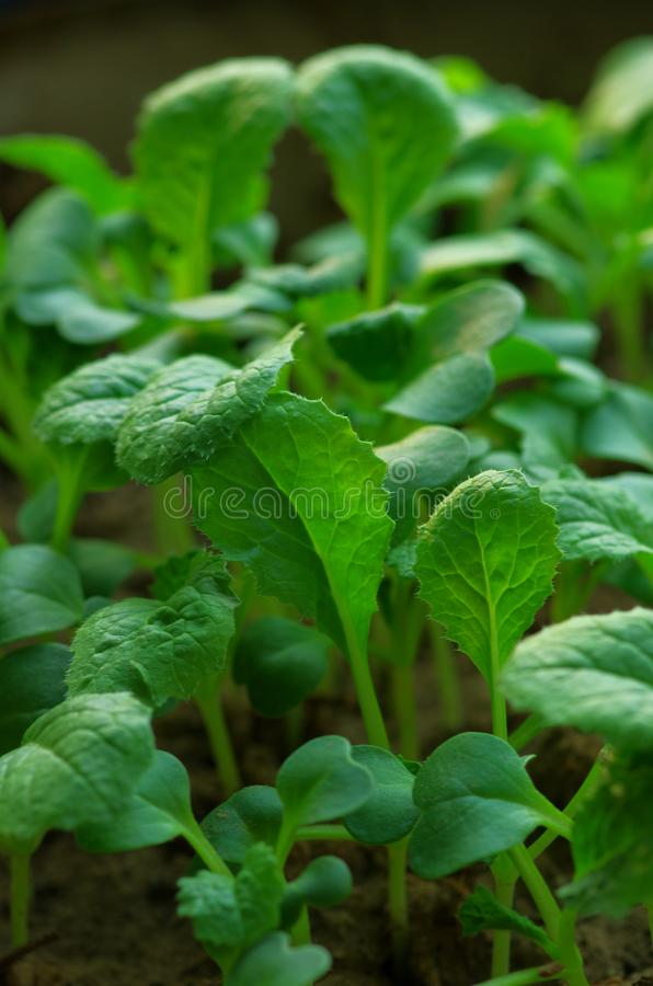 Chinese cabbage that has just grown leaves royalty free stock image