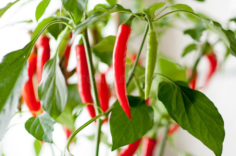 Indoor planting with green and red hot chili peppers which are growing near a window in the kitchen stock images
