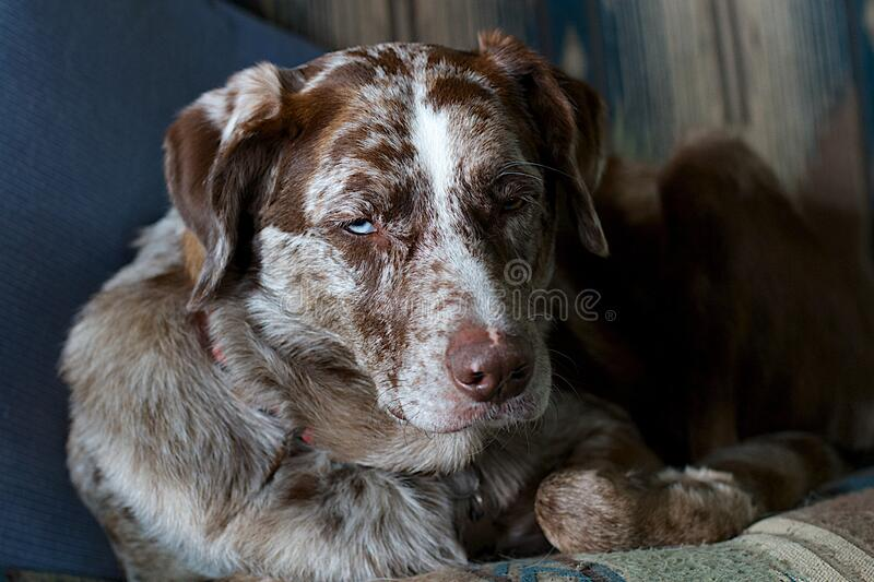 Indoor portrait of dog stock photography