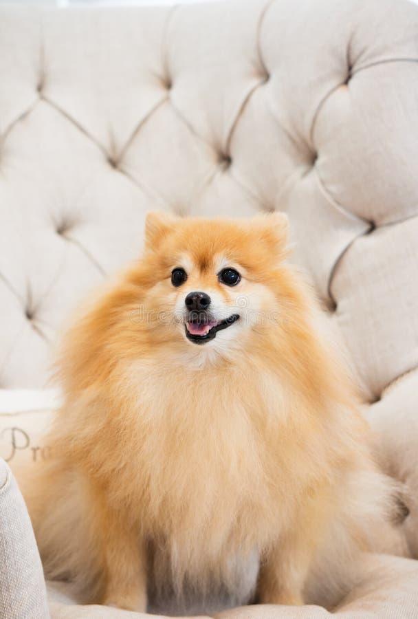Small reddish golden pomeranian dog. Foxy face. royalty free stock images