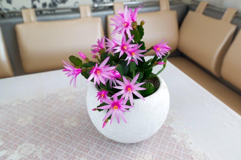Indoor Schlumberger flower in Interior. Indoor pink Schlumberger flower in the Interior royalty free stock images