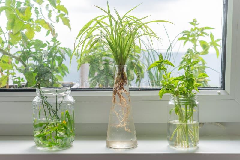 Indoor window planting rooting in glass bottle fibrous root grow. Indoor window planting rooting in glass bottle fibrous roots grow stock images