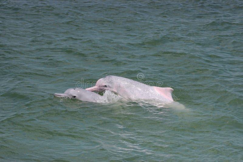 Indopacific humpback delfiny Sousa chinensis w Hong Kong obraz stock