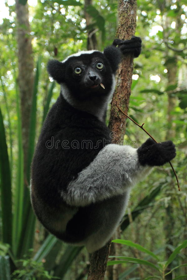 Indri stock photography