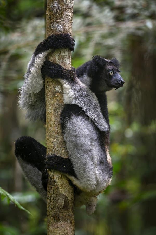 Indri de Indri - de Indri fotos de archivo