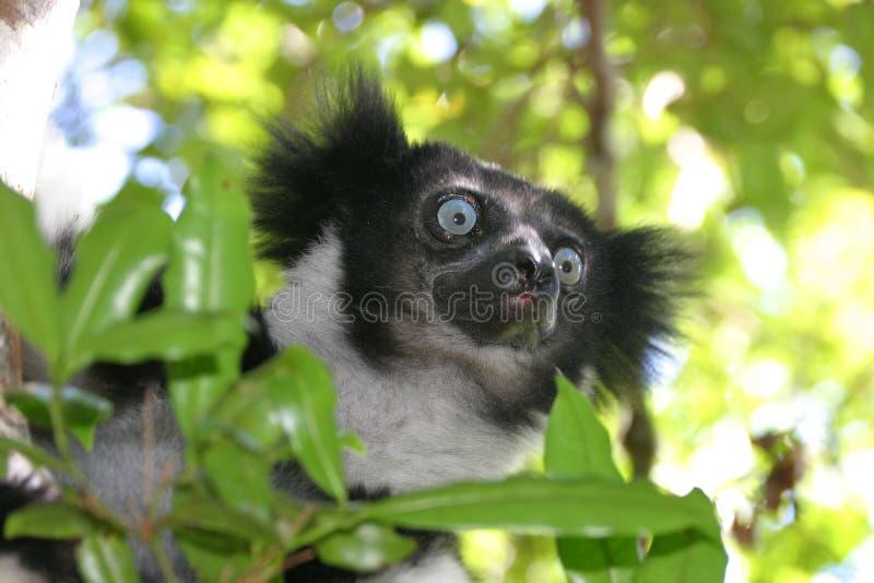 Indri indri stockbilder