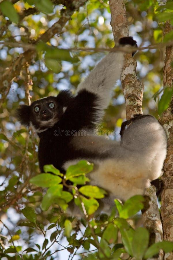 Indri Indri stock photography