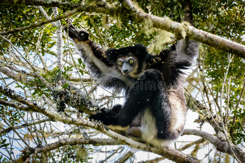 Indri Lemur hanging in tree canopy looking at us. In Madagascar stock image