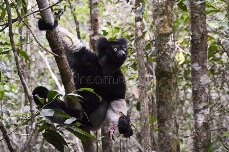 Indri wielki lemur Madagascar zdjęcia stock