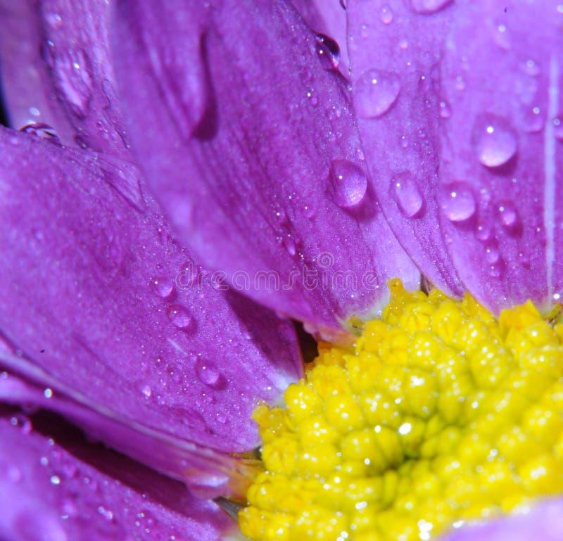 Indrukwekkende bloem met daling van water in macromening stock foto