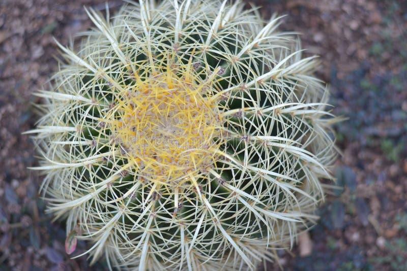 Indrukwekkende Gouden Vatcactus royalty-vrije stock foto