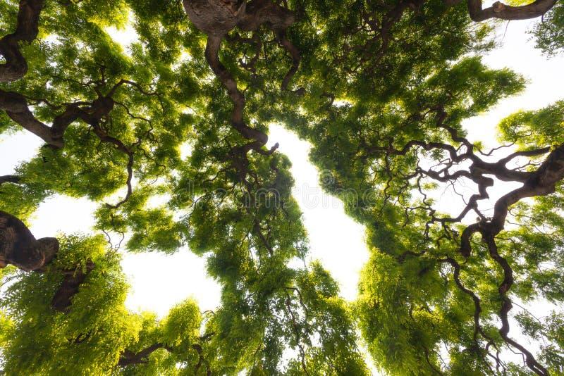 Indrukwekkende, groene kroon van lange, grote iepboom met knoestig, tw stock foto