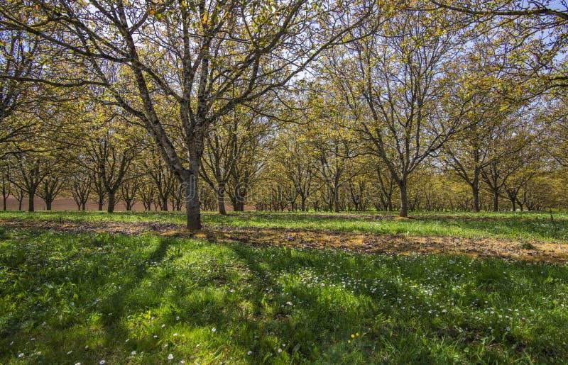 Industriële landbouw: perzikboomaanplanting in Piemonte, Italië stock foto