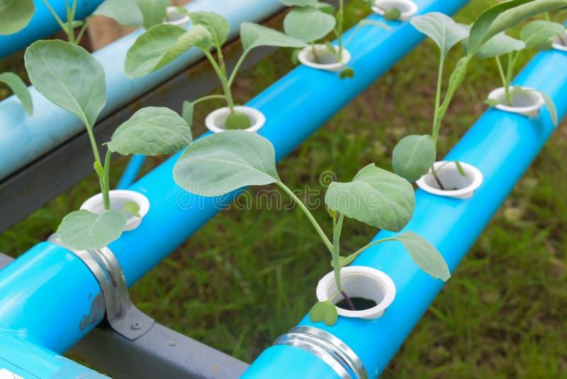 Industria de la agricultura de la verdura verde joven del hidrocultivo foto de archivo