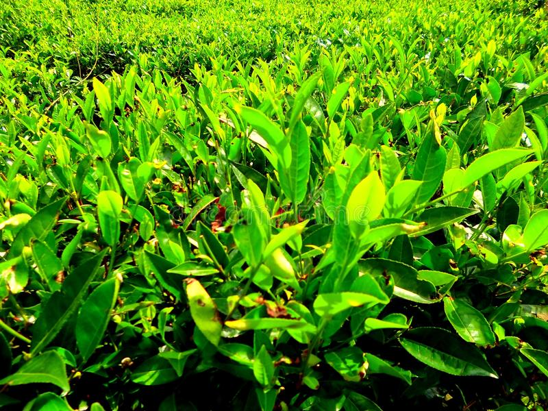 Industria del tè in Sri Lanka fotografie stock libere da diritti