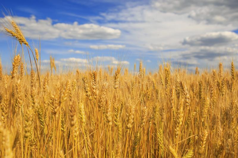 Industrial agricultural landscape with field ears ripe Golden wheat on a farm on a Sunny summer day against a clear clear blue sky stock photo