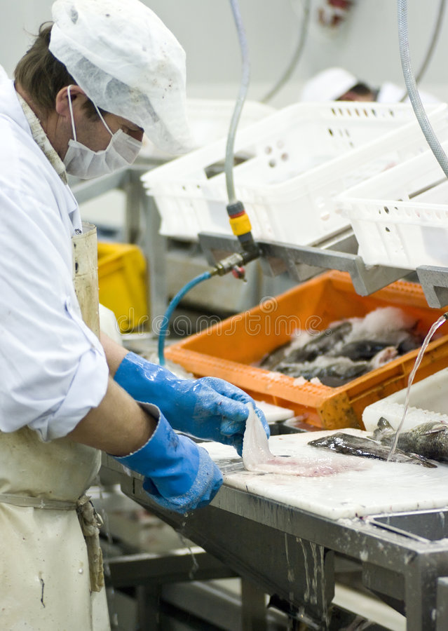 Industrial fish filleting. Portrait of a fish cutter working in a fish processing factory. He is cleaning the fish and making cod fillets. The image is part of royalty free stock photo