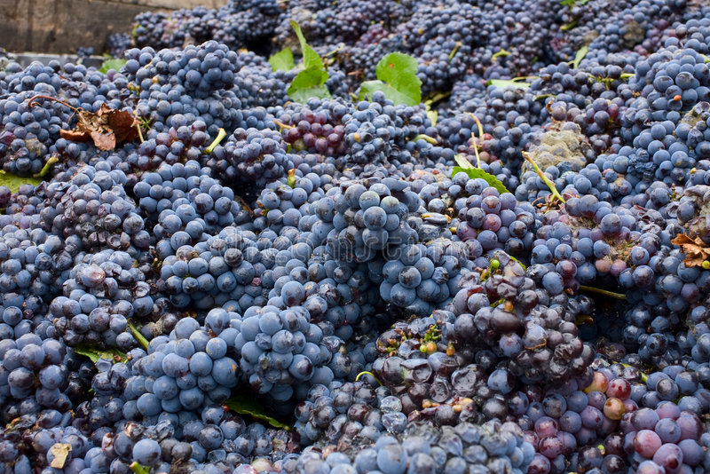 Industrial grapes for wine making royalty free stock photos
