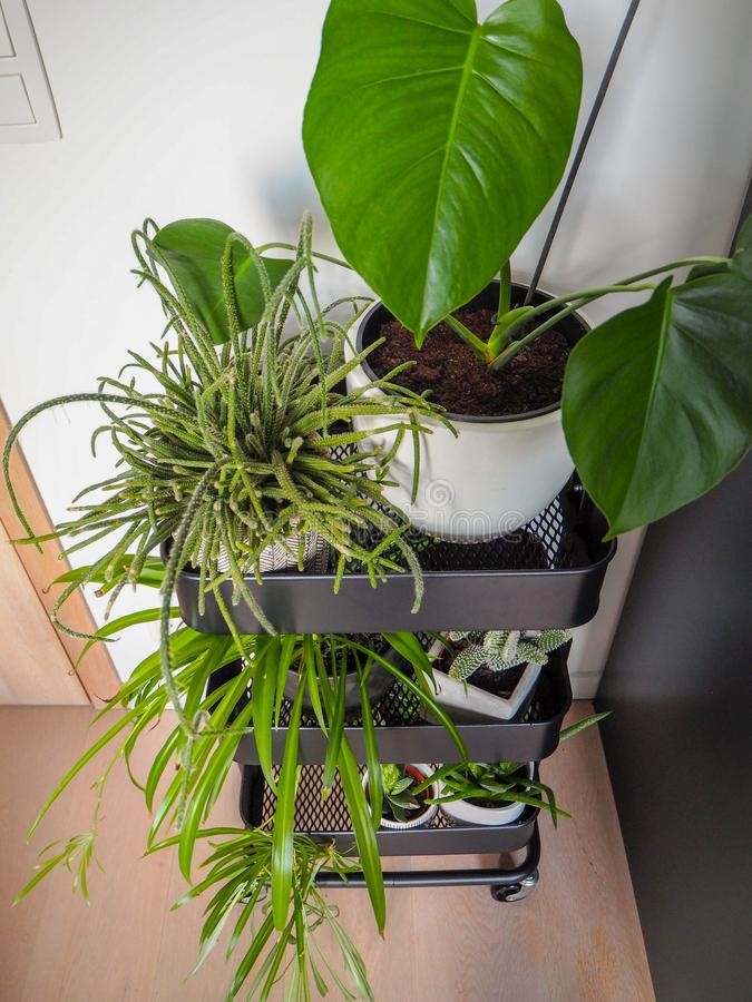 Industrial grey trolley filled with different green houseplants creating an indoor vertical garden stock photos