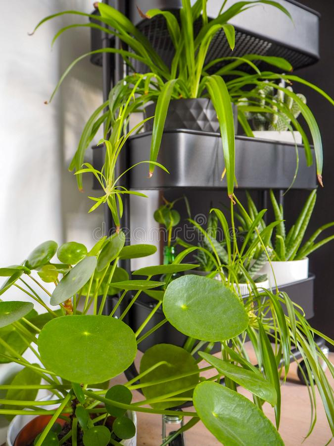 Industrial grey trolley filled with different green houseplants creating an indoor vertical garden stock image