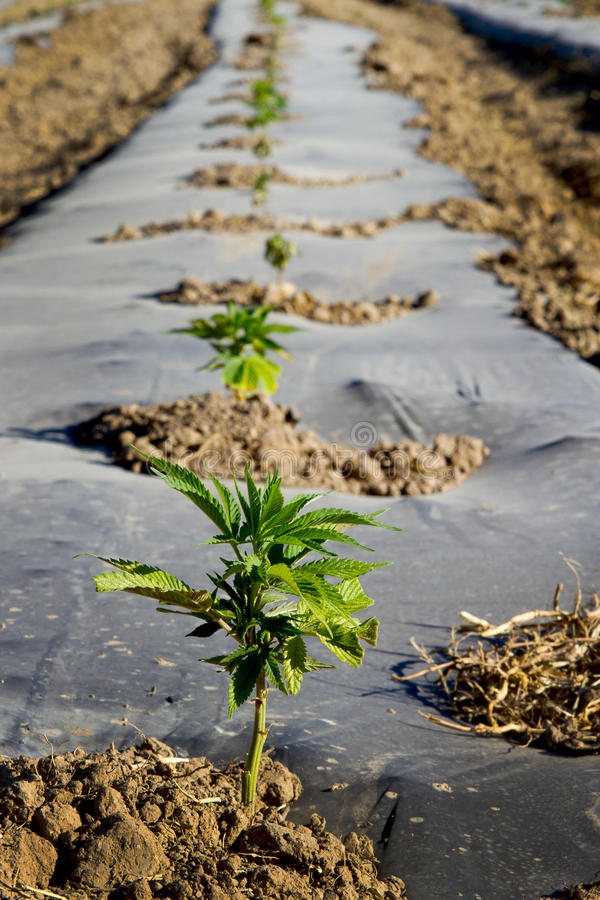 Industrial hemp seedling field. Industrial hemp seedling in a row stock image