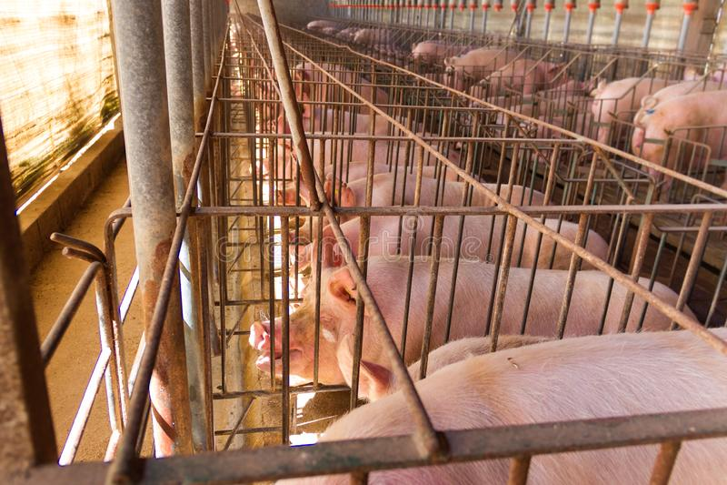Industrial pigs hatchery to consume its meat royalty free stock photography