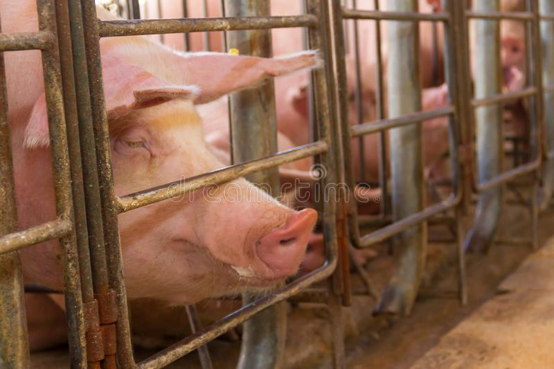 Industrial pigs hatchery to consume its meat. Modern industrial pigs hatchery to consume its meat royalty free stock images