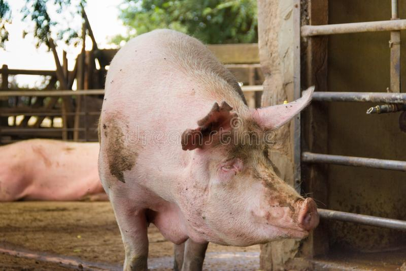 Industrial pigs hatchery to consume its meat. Modern industrial pigs hatchery to consume its meat royalty free stock photo