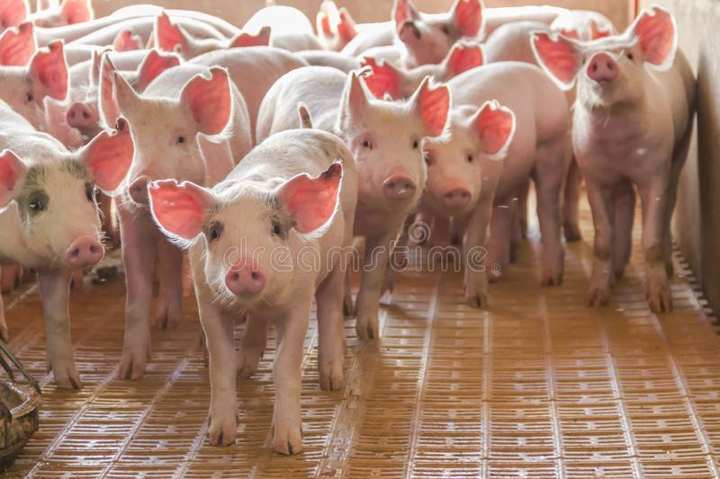 Industrial pigs hatchery to consume its meat stock photos