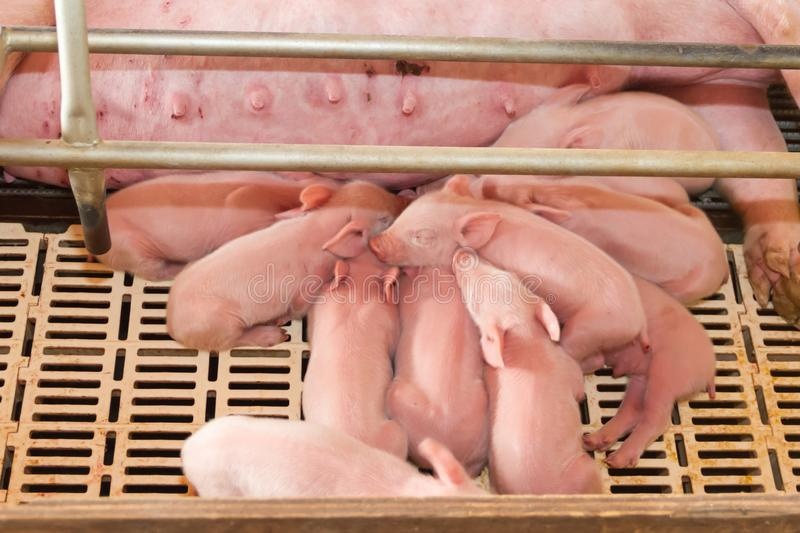 Industrial pigs hatchery to consume its meat. Modern industrial pigs hatchery to consume its meat royalty free stock photos