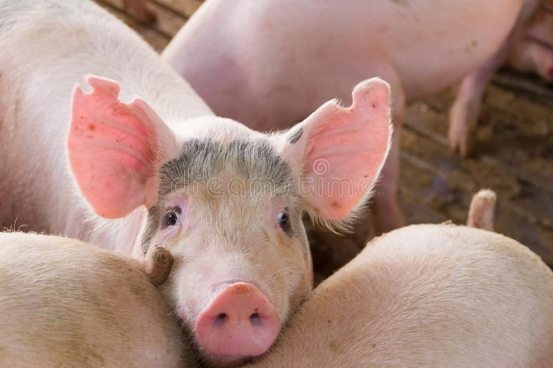 Industrial pigs hatchery to consume its meat royalty free stock photo