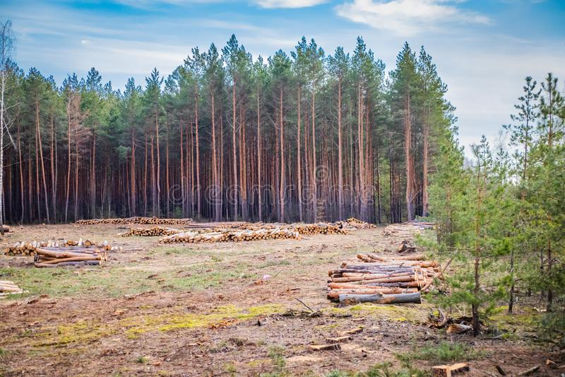 Industrial planned deforestation in spring, fresh green pine lies on the ground amid stumps. Industrial planned deforestation in spring, fresh green pine lies on royalty free stock photography