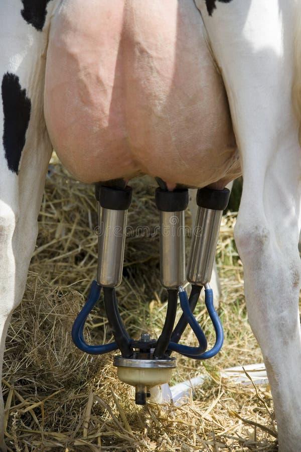 Industrie laitière - traite d'une vache photographie stock libre de droits