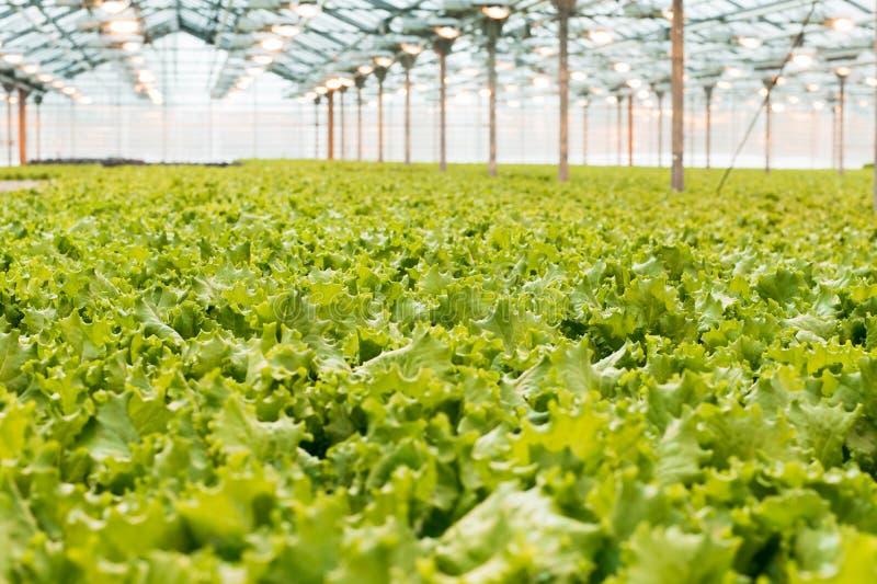 Industriell produktion av grönsallat och gräsplaner Stängt ljust stort växthus royaltyfri foto